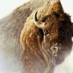 bison, loire, pilat, ouest, prairie, Des bisons dans la Loire, hébergement, découverte, location, tente, caravane