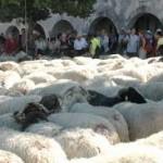 randonnée avec les moutons dans le pilat